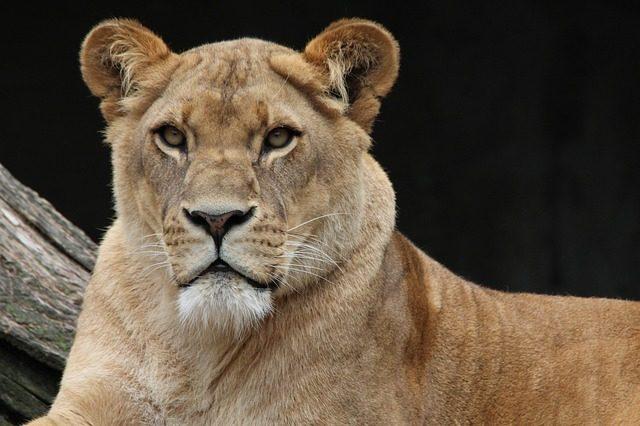 Obligatory Familial Duties Of A Lioness Kenya Wildlife Safaris