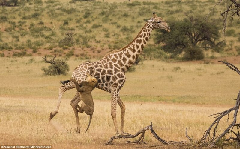 Lions and hyenas hunt the giraffe, but a mature giraffe is never an easy prey because it is well-versed in self-defence