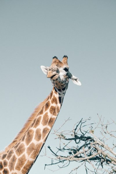 The giraffe's neck accounts for almost half its total height