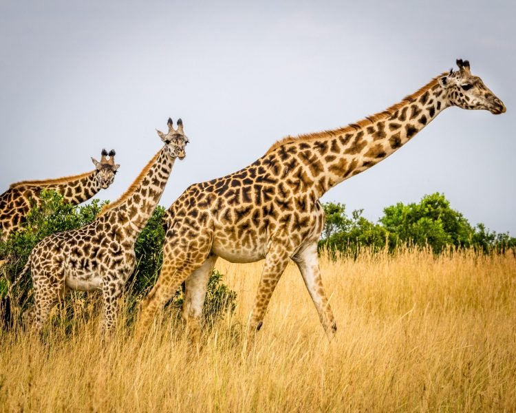 Maasai giraffes are considered to be one of the most emblematic animals on the planet