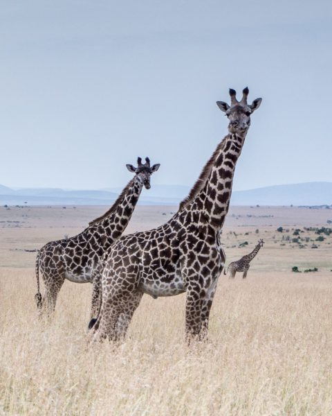 Giraffes have a spotted coat