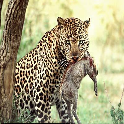 guide photo safari photo léopard et sa proie un phacochère