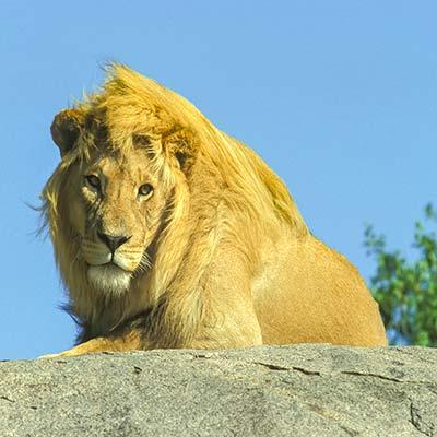 guide photo safari photo lion au regard perçant