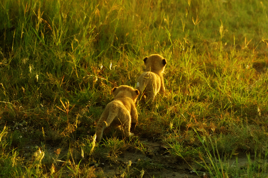 Lion cubs in the Maasai mara /Picture courtesy of KWS