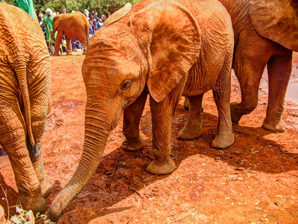 David_Sheldrick_cute_baby_elephant