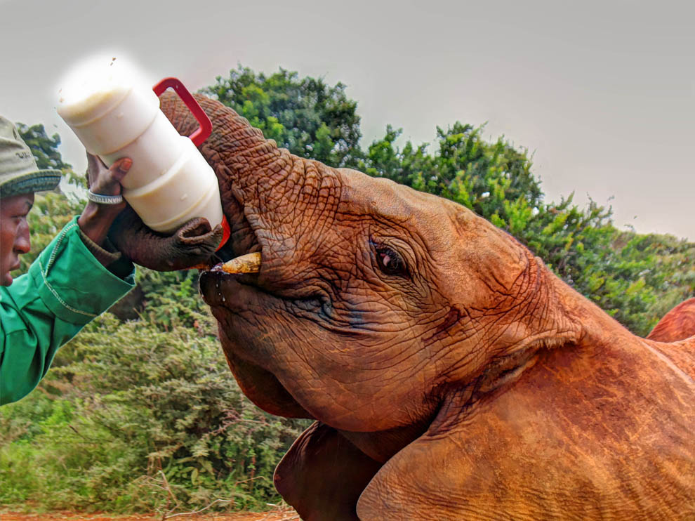 David_Sheldrick_feeding_upclose