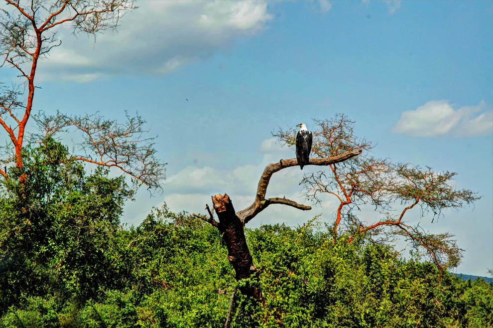 Ruma National Park_fish eagle