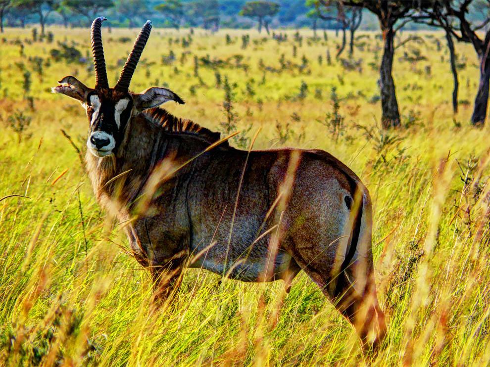 Ruma National Park_majestic roan antelope