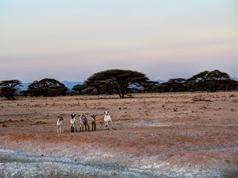 Chalbi Desert_goats waiting to cross