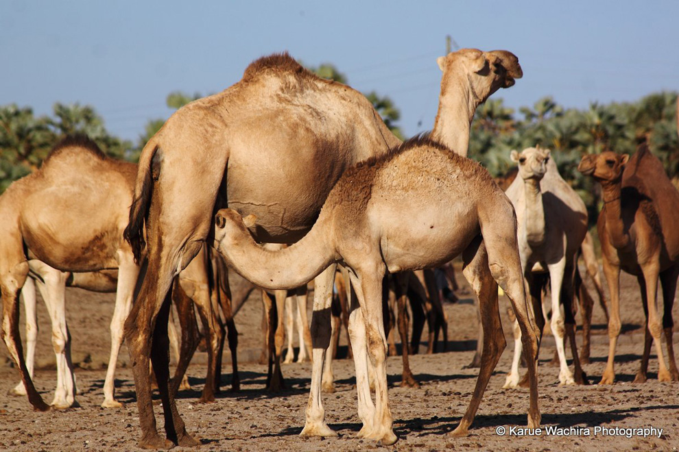 North Horr_Camel calf breast feeding