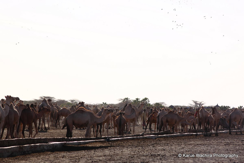 North Horr_Camels at watering point