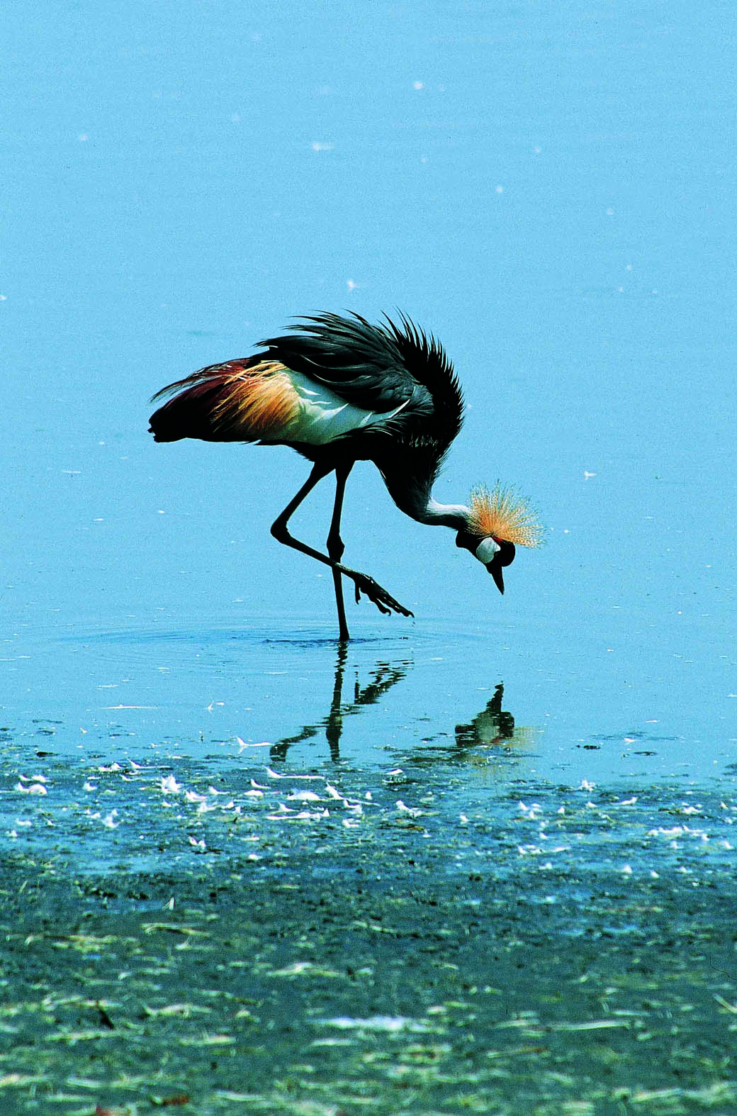 A Crown Crane on the shores of Lake Nakuru