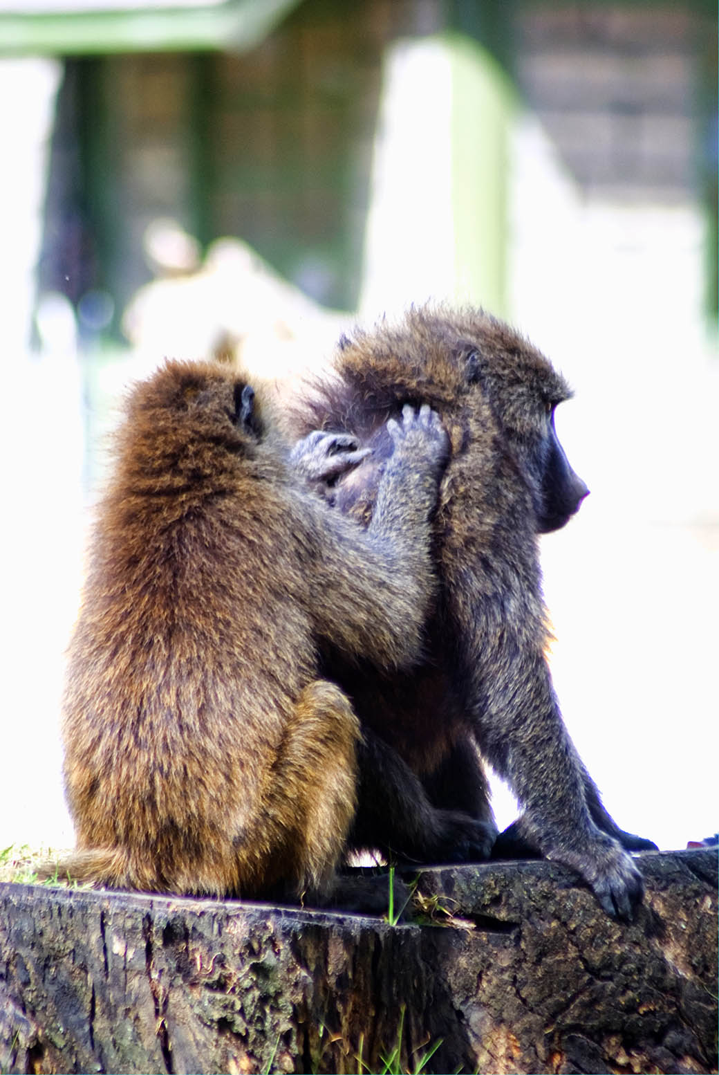 Lake Nakuru National Park_baboons