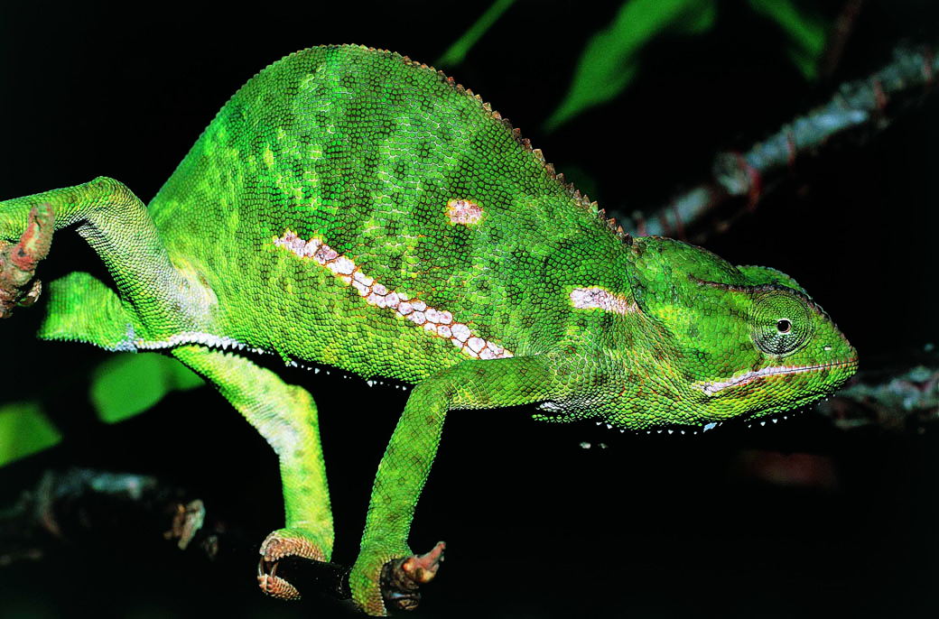 An array of reptiles too can be spotted in the Lake Nakuru National Park