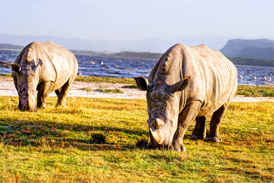 Rhinos grazing in the Lake Nakuru National Park