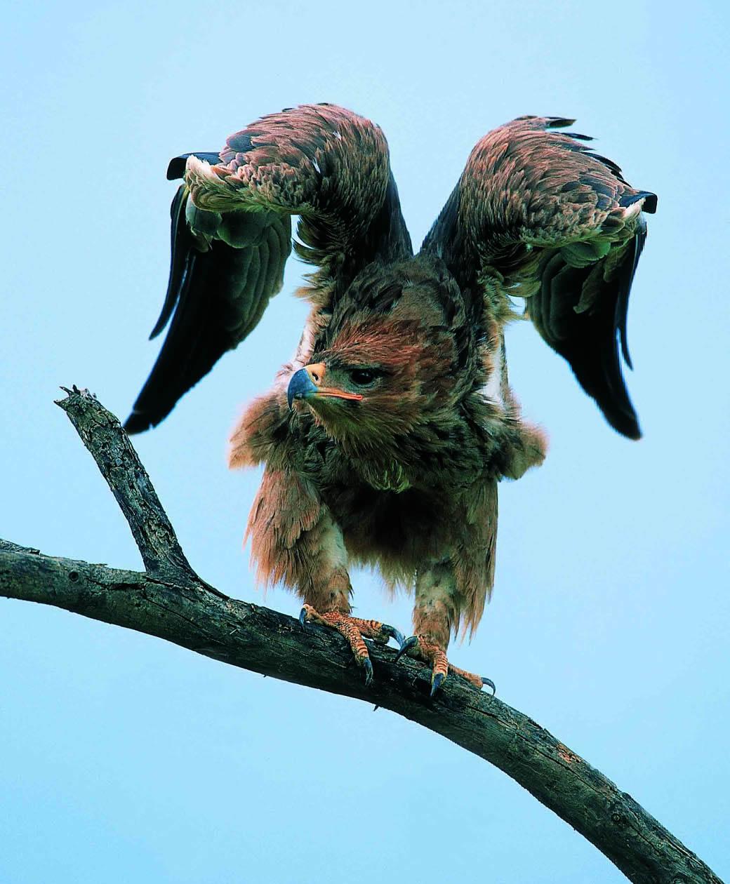 Tawny Eagle in the Lake Nakuru National Park