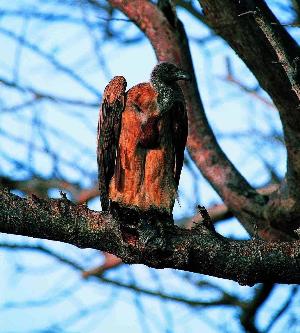 Lake Nakuru National Park_vultures