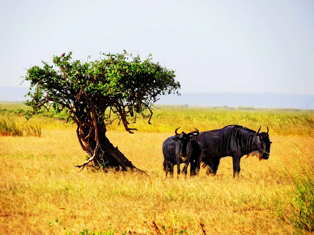 Amboseli National Park_GNU Loves Shade