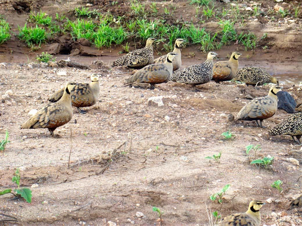 Amboseli National Park_Quails