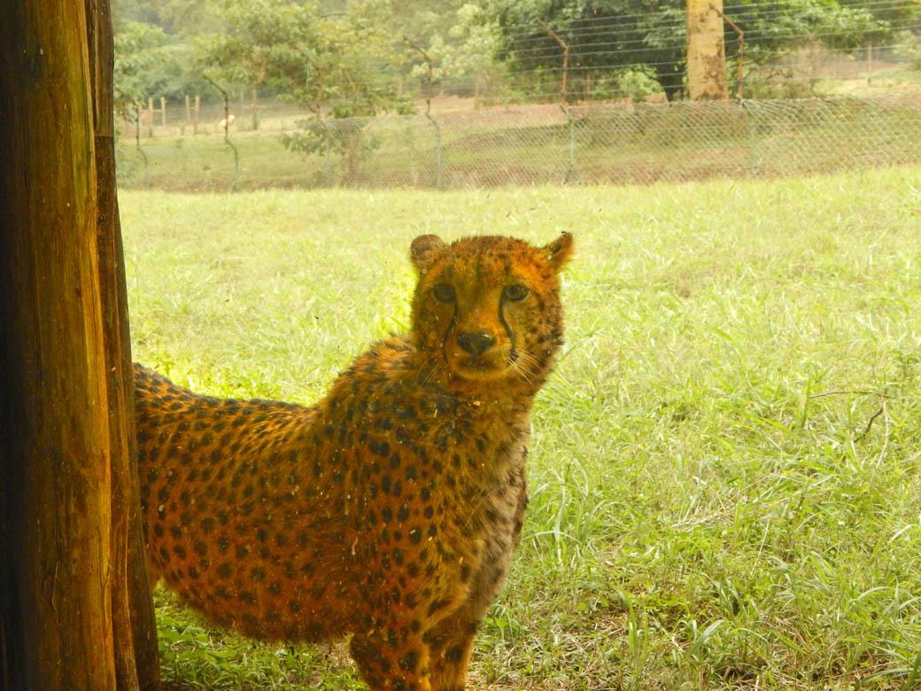 Nairobi Safari Walk_cheetah3