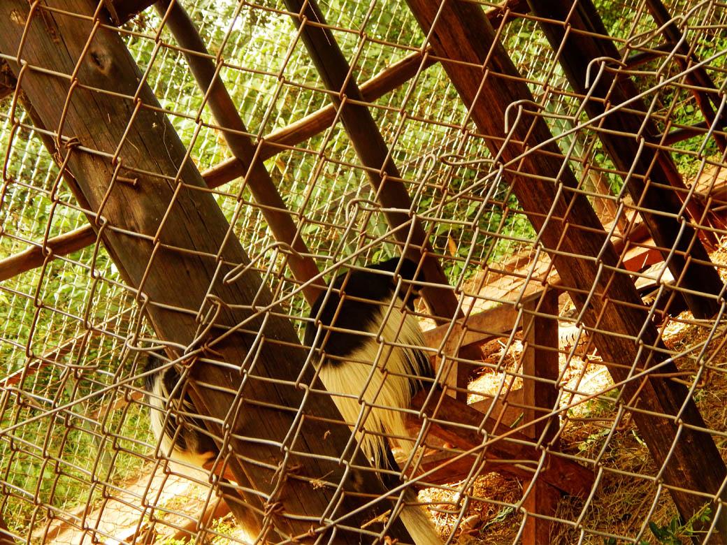 Nairobi Safari Walk_colobus monkey
