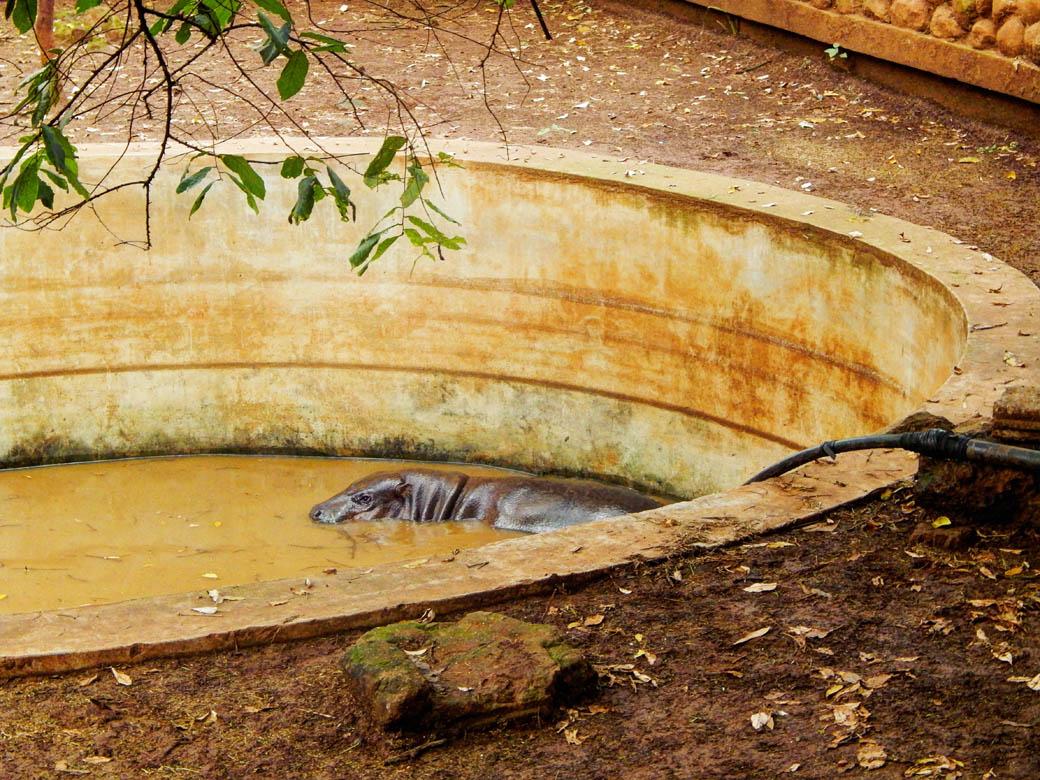 Nairobi Safari Walk_hippo in pool