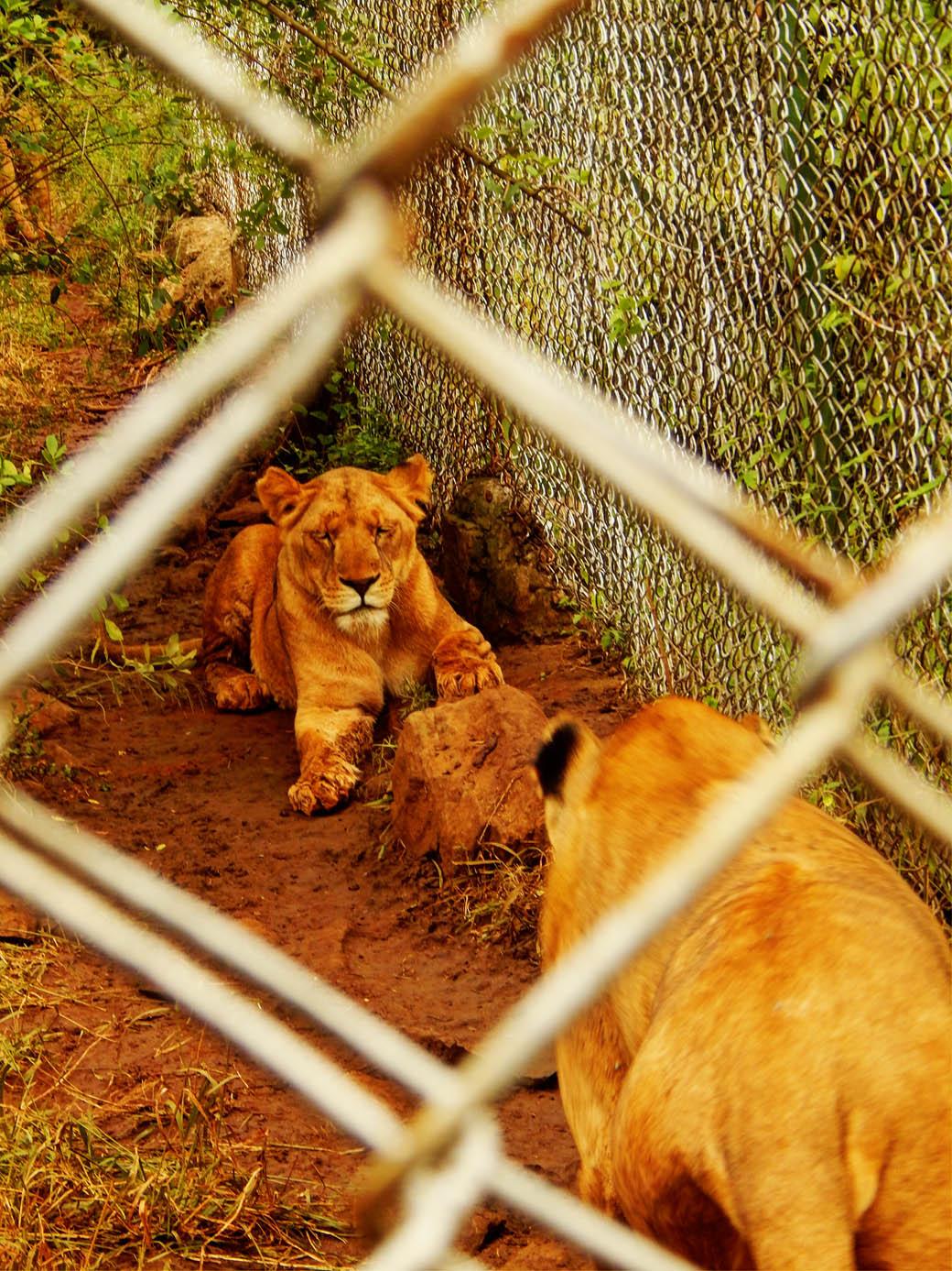 Nairobi Safari Walk_lions