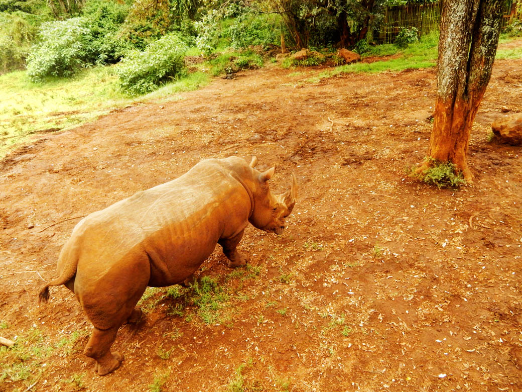 Nairobi Safari Walk_rhino