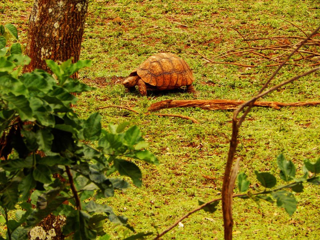 Nairobi Safari Walk_tortoise
