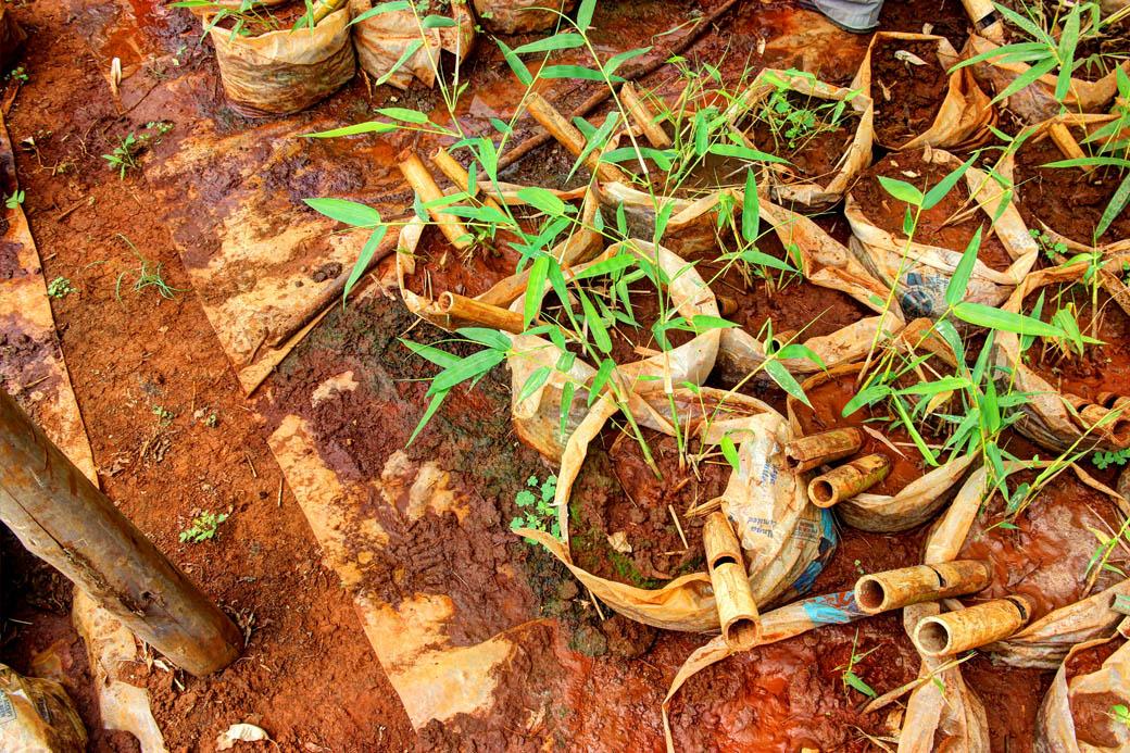 Save Mount Kenya _bamboo seedlings2