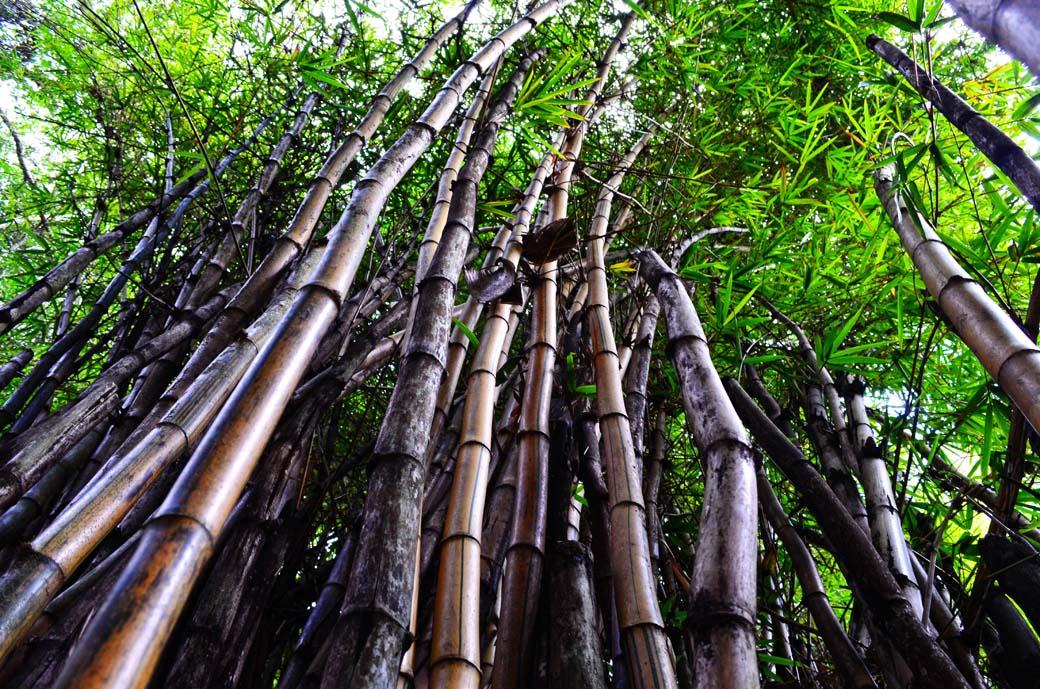 Oloolua Nature Trail_Bamboo1