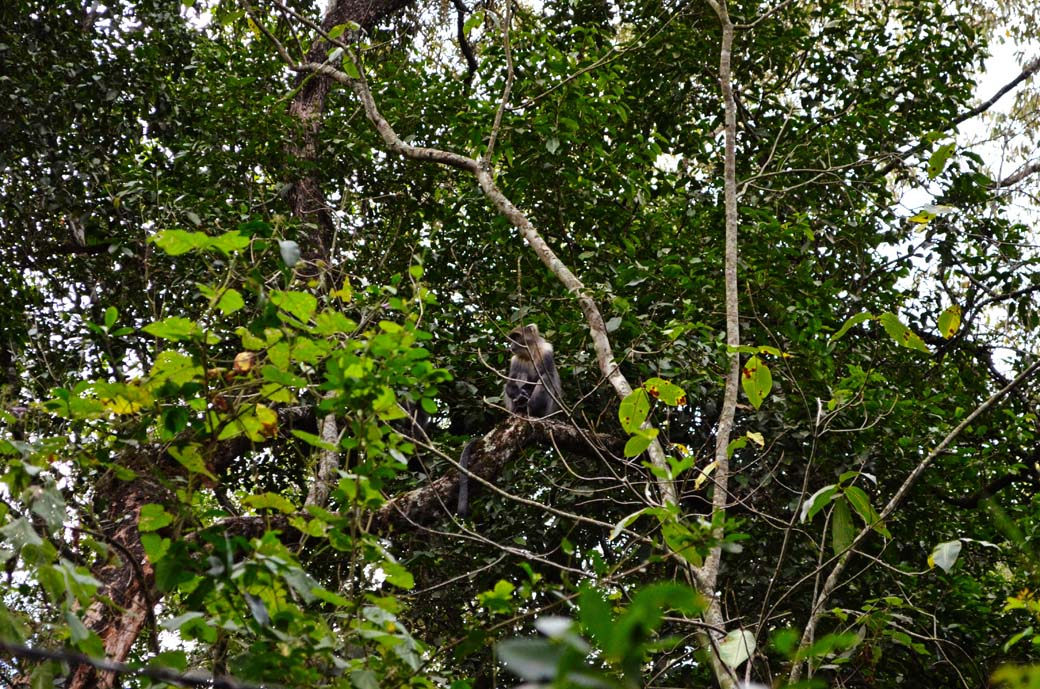 Oloolua Nature Trail_Monkey2