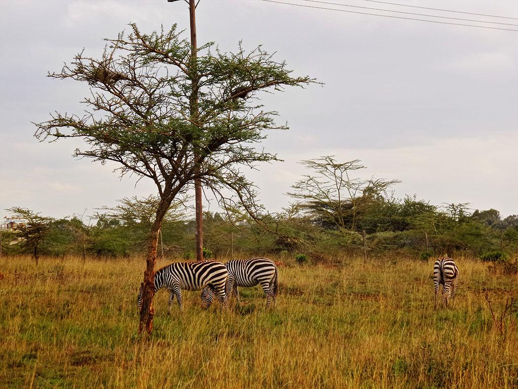Masai Lodge_Zebra