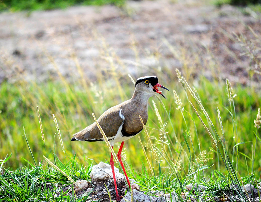 Birds of Amboseli National Park_Crowned Lapwing