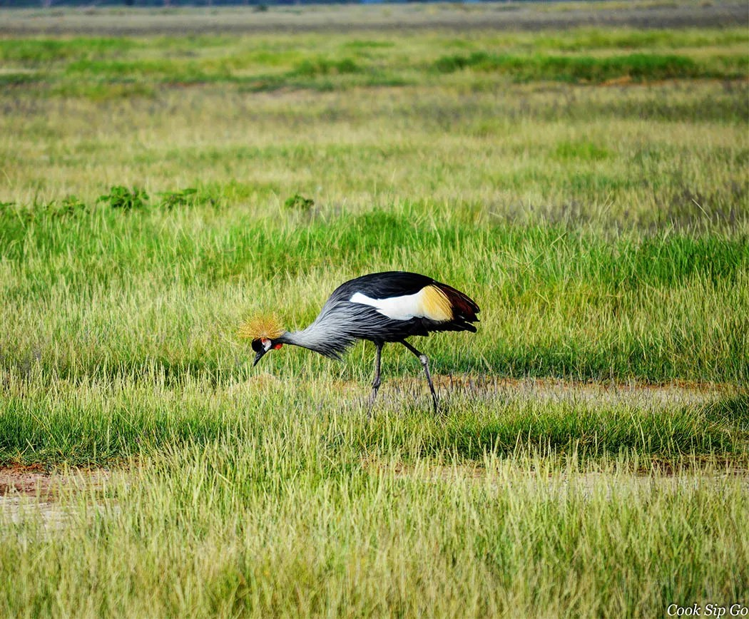 Birds of Amboseli National Park_Grey Crowned Crane Solo