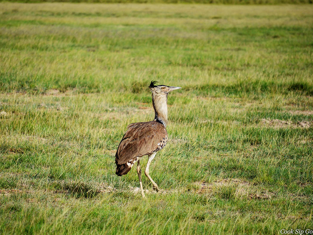 Birds of Amboseli National Park_Kori bustard