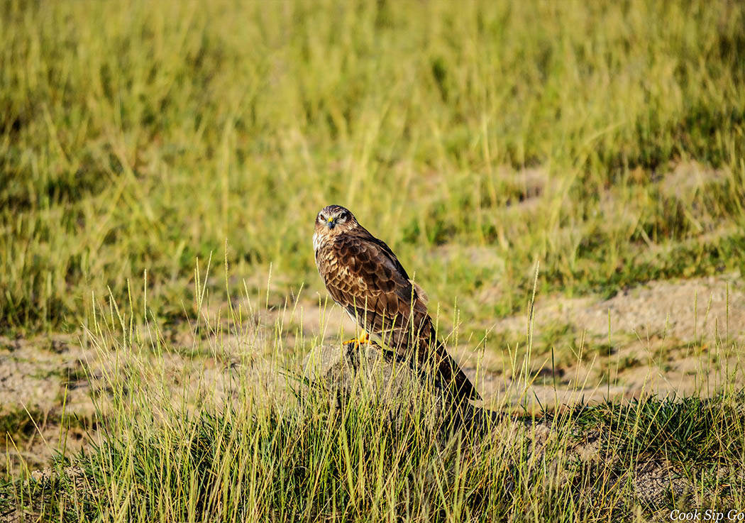 Birds of Amboseli National Park_Lanner Falcon