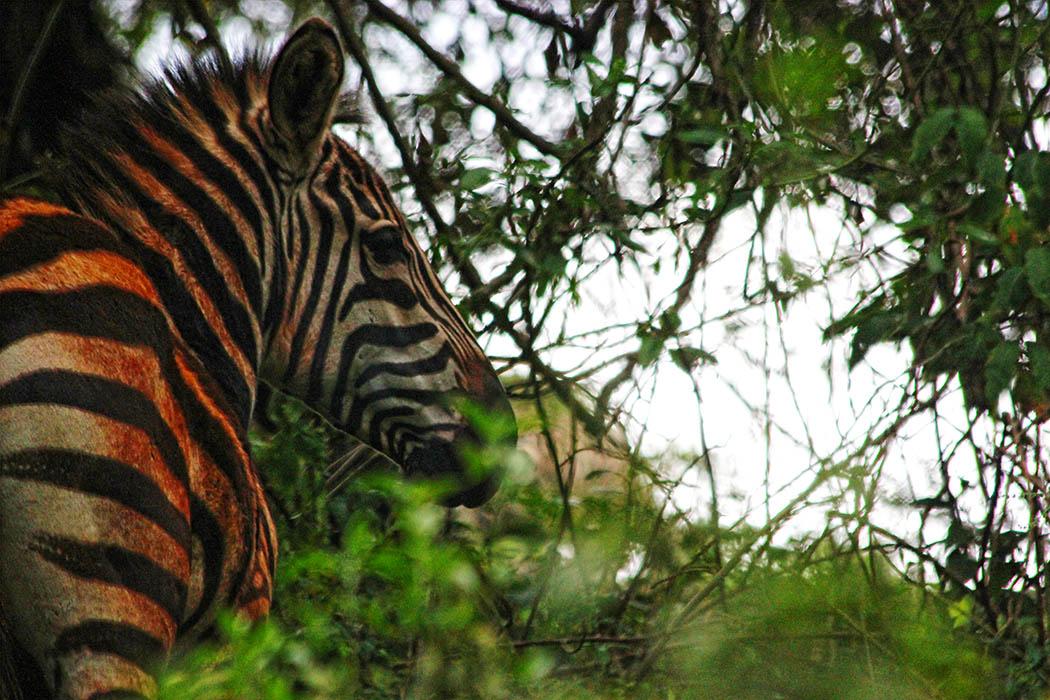 Unexpected Kenya _Zebra