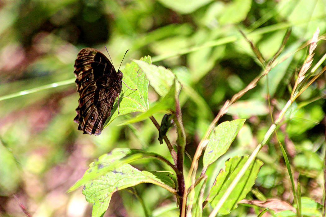 Mt Elgon National Park_Butterfly1