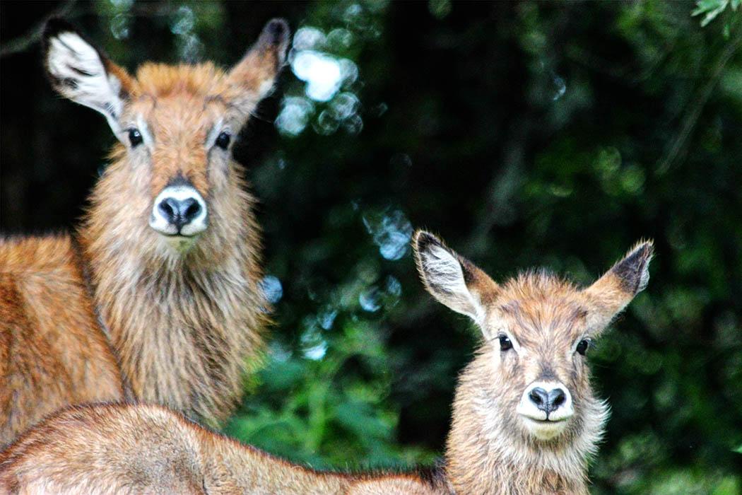Mt Elgon National Park_Female bushbuck and calf (2)