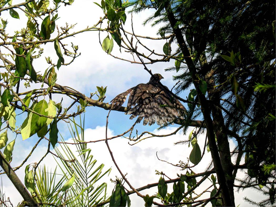 Wildlife in my backyard_bird of prey