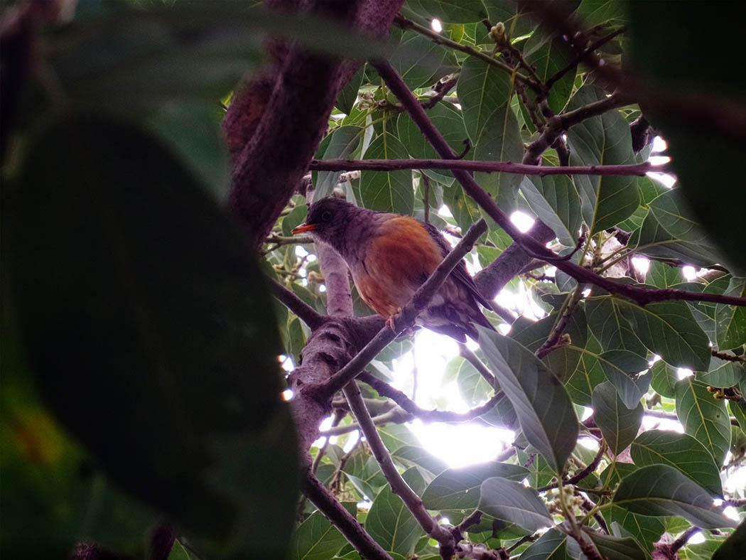 Wildlife in my backyard_orange breast bird