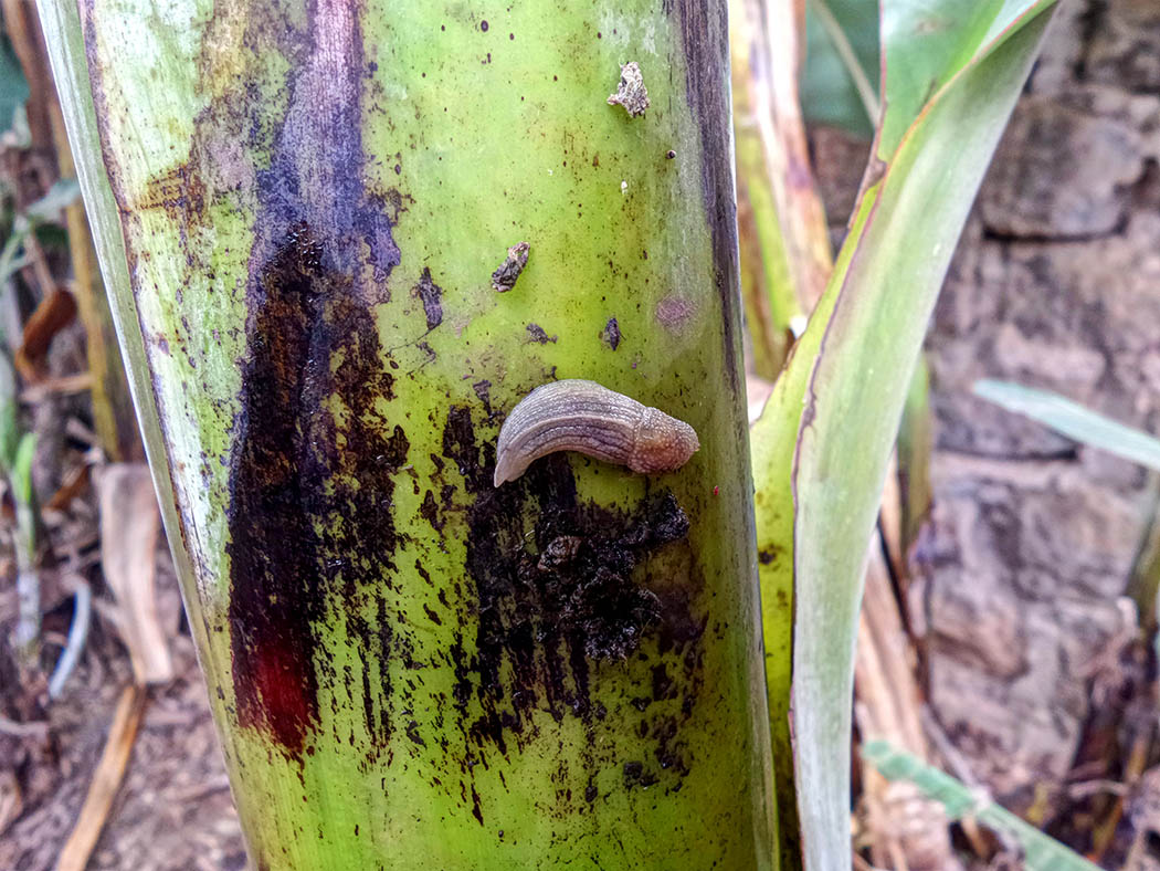 Wildlife in my backyard_slug on banana stem