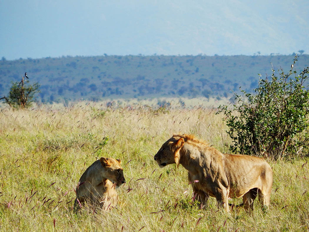 Taita Hills Wildlife Sanctuary_honeymooning lions