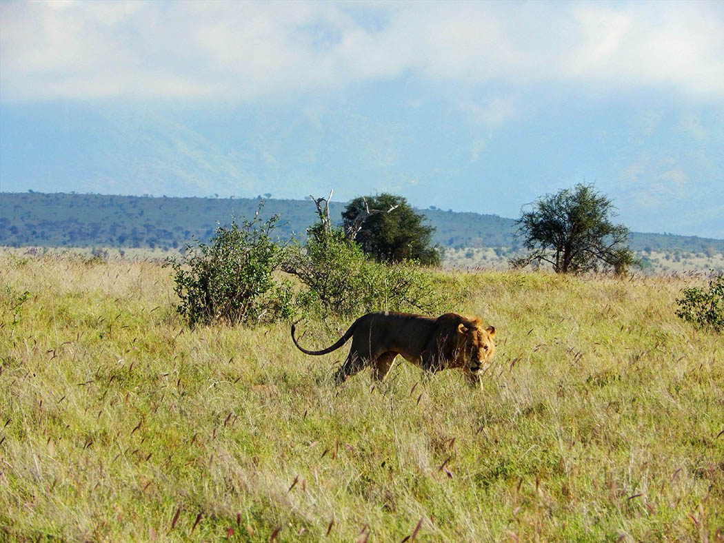Taita Hills Wildlife Sanctuary_lion