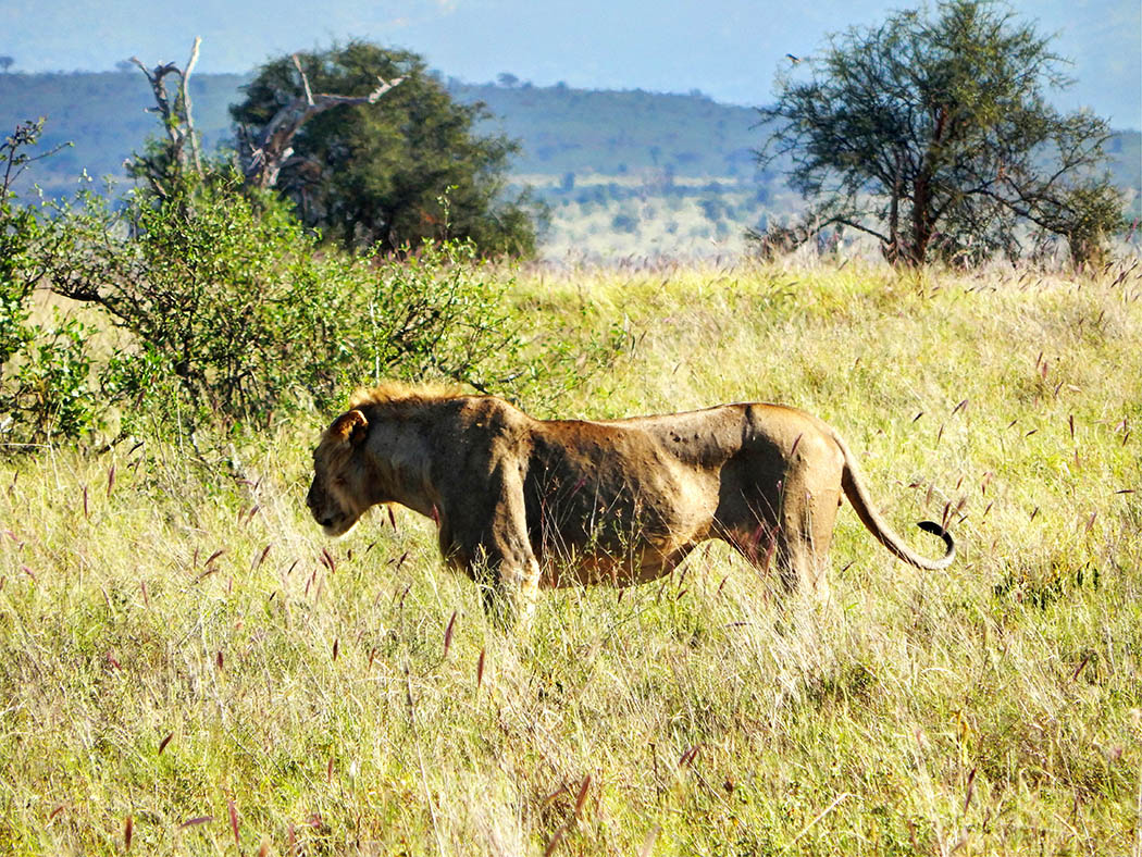 Taita Hills Wildlife Sanctuary_lion2