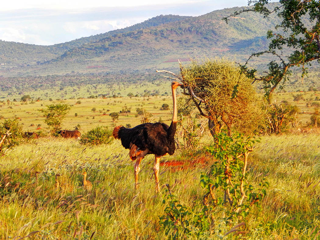 Taita Hills Wildlife Sanctuary_ostrich