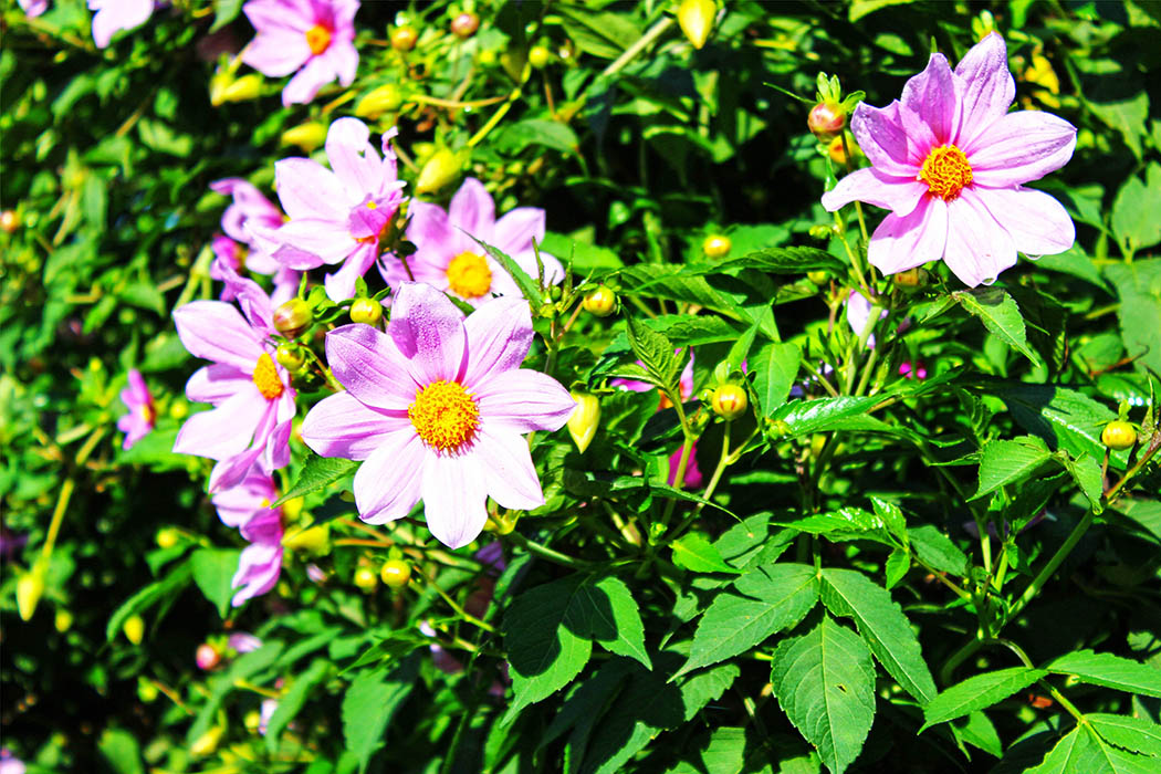 Kapsimotwa gardens_flower1
