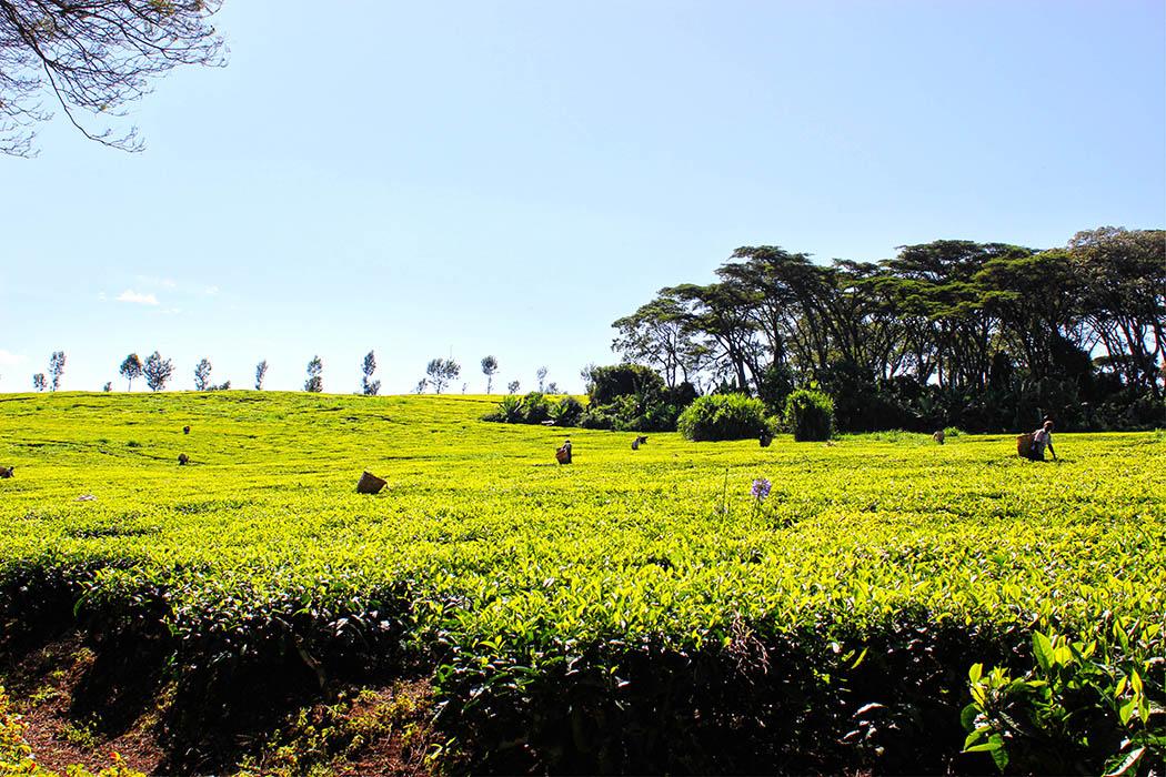 Kapsimotwa gardens_tea bushes