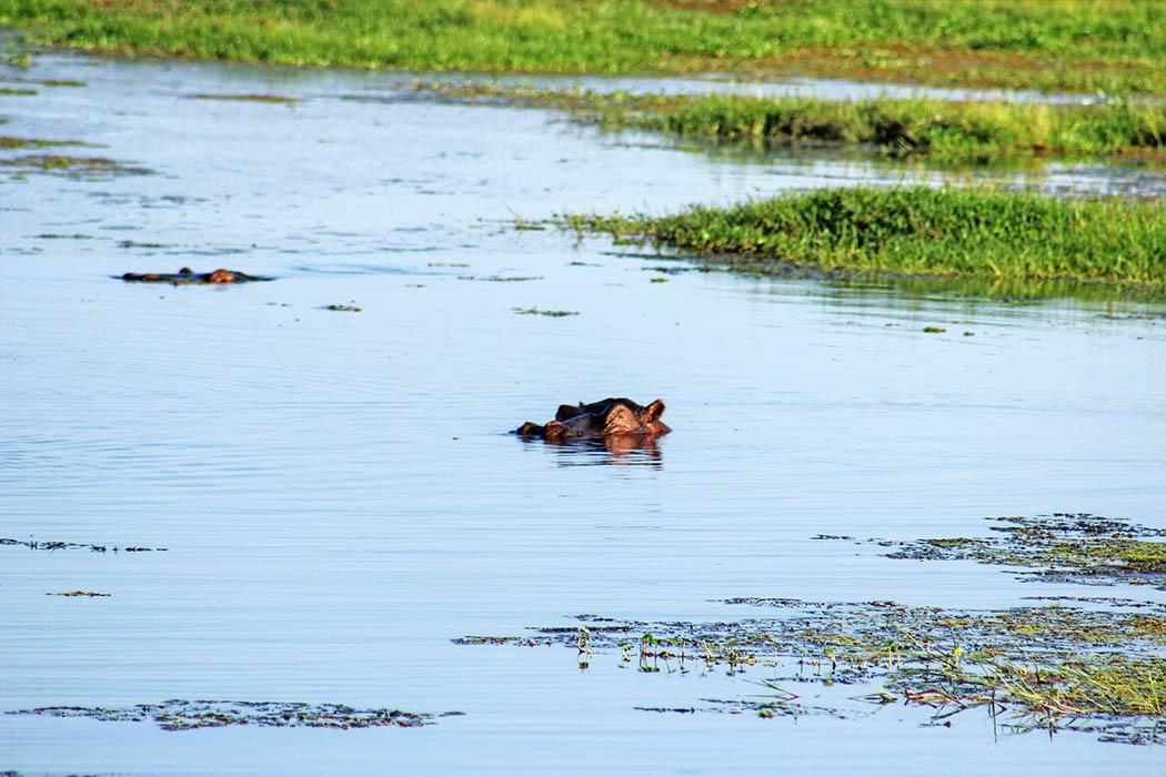 Amboseli National Park Hippo in swamp